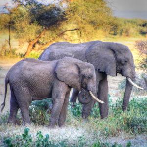African Elephants Canvas